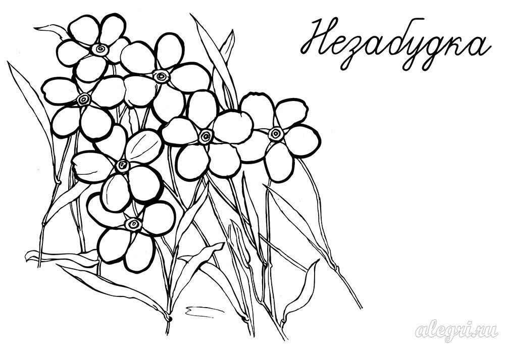 Раскраска. Весенние цветы незабудка