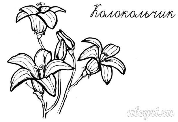 Летние цветы. Колокольчики. Раскраска