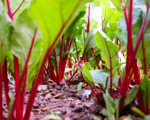 Как вырастить свеклу в открытом грунте