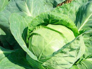 Как вырастить хороший урожай капусты в открытом грунте