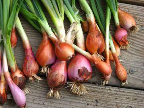 Как вырастить лук репчатый в открытом грунте